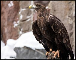 White-Tailed Eagle I by OrangeRoom