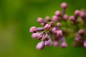 Lilac Buds by Whimsydogstudio
