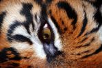 Eye of the Tiger by Nikki-vdp