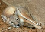 Swift Fox Nap Interrupted by Jack-13