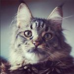 maine-coon by Tris-san