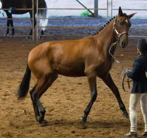 STOCK - 2014 Andalusian Nationals-20 by fillyrox