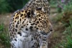 Amur Leopard 20150713-2 by FurLined