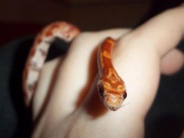 Corn snake hatchlings: Londo by Jovamabob