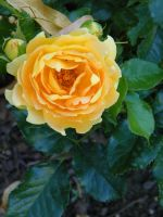 Yellow Rose by MTJforever