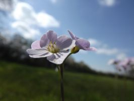 Cuckooflower by foxyfellowuk