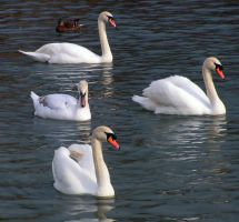 Swans - Stock by Sassy-Stock