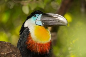 Toucan by johncrowx