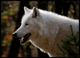 just arctic wolf by morho