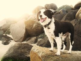 Border Collie happiness by animel
