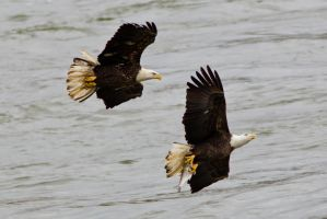 Eagle Chase by bovey-photo
