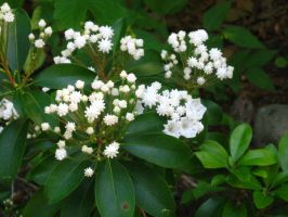 white mountain laurel by crazygardener