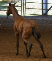 STOCK - 2014 Andalusian Nationals-11 by fillyrox