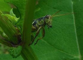 Grasshopper by AlissaDStock