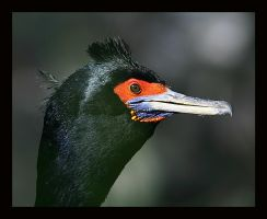 Red-faced Cormorant Facial by swashbuckler