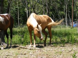 palominostock005 by jendee-stock