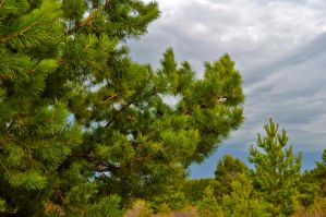 Spruce branch with cones by Tumana-stock