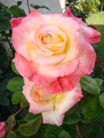 White and Pink Roses III by EmmaL27