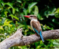 Brown-Hooded Kingfisher by Okavanga