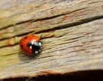 Ladybird by Neutronstr