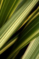 leaves like grass by orographic