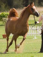 STOCK - TotR Arabians 2013-41 by fillyrox