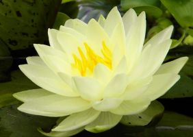Lilly Pad Flower by photofreak-stock