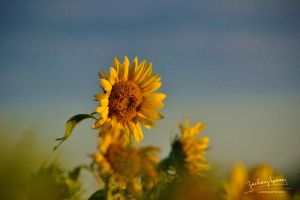 Peaking over the Sunflowers by AppareilPhotoGarcon
