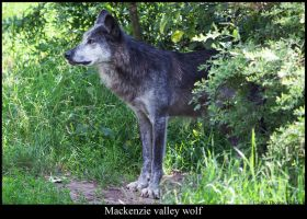 Mackenzie valley wolf by Mathness