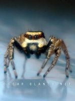 Jumping Spider closeup by otas32
