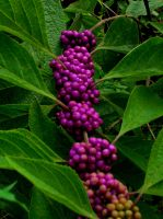 Berries by shutter-bug664
