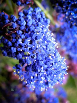 Ceanothus by iriscup