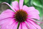 Purple Coneflower macro. by Vision-Quest
