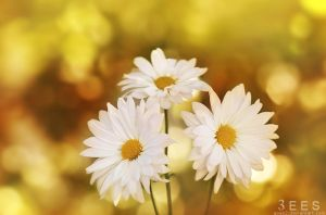 Daisies ... by aoao2