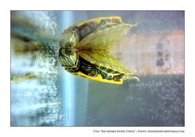 Red Earred Slider by missjserenity