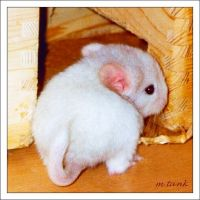 Hey it's Baby Chinchilla Idefix by Villa-Chinchilla