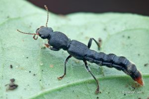 Rove Beetle by melvynyeo