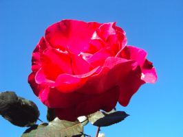 Red Rose, Blue Sky by NalaAbmis