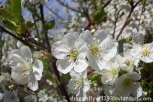 Cherry Blossoms I by DragonFlyer139
