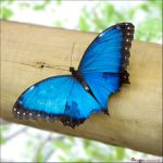Blue Morpho - open wings by mtani