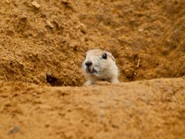 Black-tailed prairie dog 04 - Jul 12 by mszafran