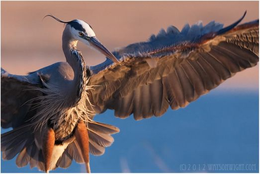 Great Blue Heron by tourofnature