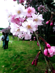 Cherry Blossoms by RayeDraco