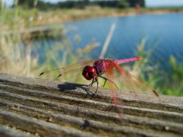 Pink Dragonfly by Sonia-Rebelo