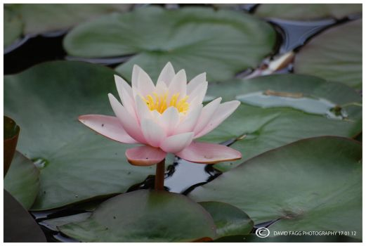 water lily 4 by snappy-dave