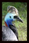 Southern Cassowary by Twins72