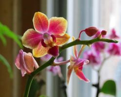 Pink - Light Yellow Mini Moth Orchid by Kitteh-Pawz