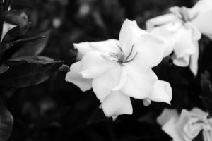 Black and White Flower by mandypandy1980