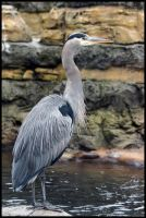 Great Blue Heron 3 by HarbingerPhotography