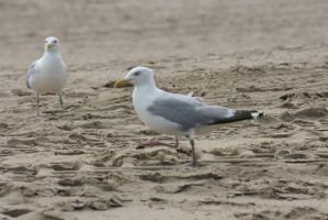 seagulls at beach by ingeline-art